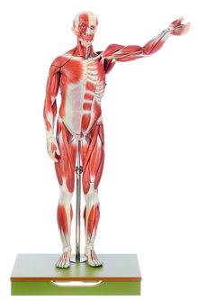 AS 1 Männliche Muskelfigur