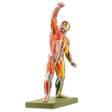 AS 3 AP/NR Männliche Muskelfigur mit Farbcodierung