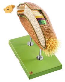 BoS 18 Modell eines Weizenkorns als Beispiel für eine Karyopse