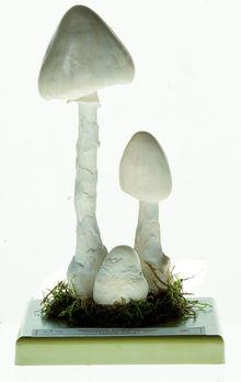 BoS 208 Weißer spitzhütiger Knollenblätterpilz