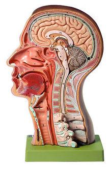 BS 17 Kopfmodell
