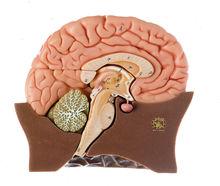 BS 20/1 Gehirnhälfte