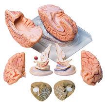 BS 20 Gehirn