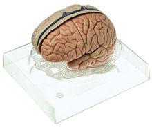 BS 23/3 Gehirnmodell