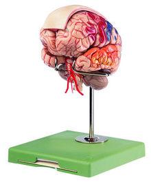 BS 23/4 Gehirnmodell