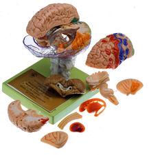 BS 25/1 15-teiliges Gehirnmodell mit farbiger Markierung der Rindenfelder
