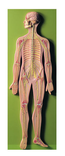 BS 27 Nervensystem