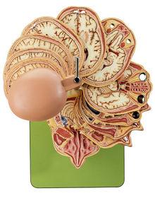 BS 5/5 Anatom. Schnittmodell des Kopfes + CT-/MR-Aufnahmen