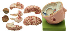 BS 5 Basis des Kopfes