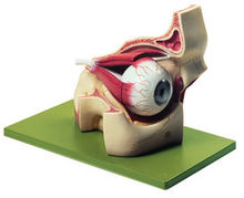 CS 2 Augenhöhle mit Augapfel