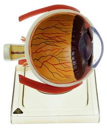 CS 21/1 Rechte Augenhälfte auf Sockel