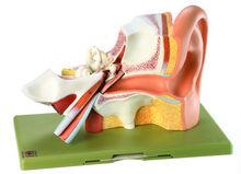 DS 3 Gehörorgan