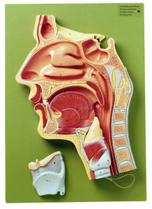 FS 4 Medianschnitt der Nasen-, Mund- und Rachenhöhle