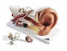 Gehörorgan-Modell, 4-teilg