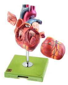 HS 6/1 Herz mit Reizleitungssystem