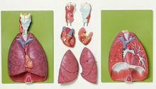 HS 7 Lunge mit Herz, Zwerchfell und Kehlkopf