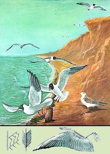 Lehrtafel Lachmöve Vogelflug