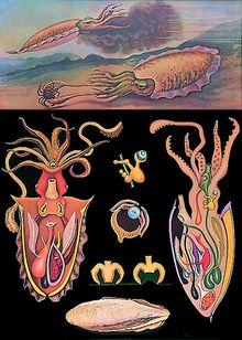 Lehrtafel Tintenfisch