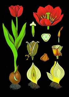 Lehrtafel Tulpe