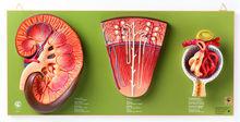 LS 9 Niere, Nephron und Nierenkörperchen