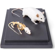 Maus und Mausskelett in Vitrine, Präparat