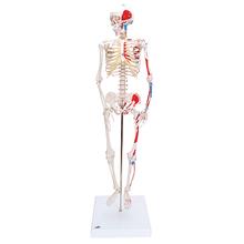 Mini Skelett Shorty mit Muskelbemalung, Sockel