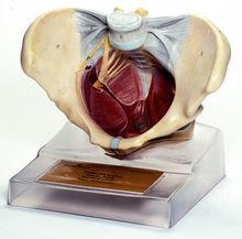 MS 10 Weiblicher Beckenboden