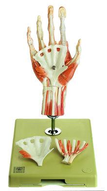 NS 13/1 Chirurgisches Handmodell