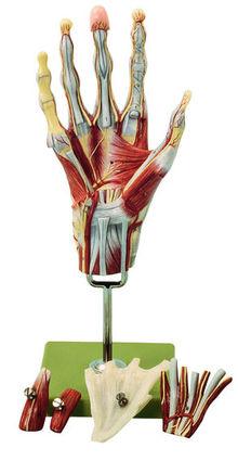 NS 13 Muskelhand mit Unterarmansatz