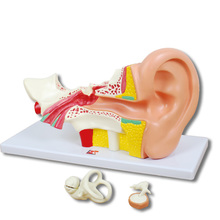 Ohren-Modell