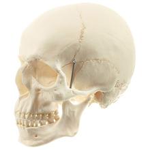 QS 1 Künstlicher Homo-Schädel