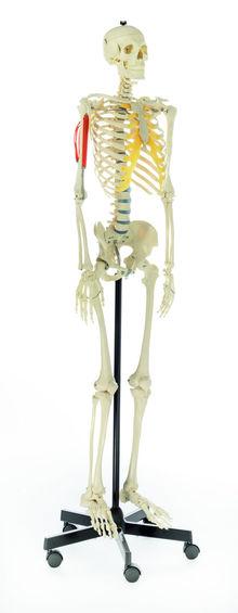 QS 10/2 Künstliches Homo-Skelett