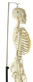 QS 10/4 Künstliches Homo-Skelett