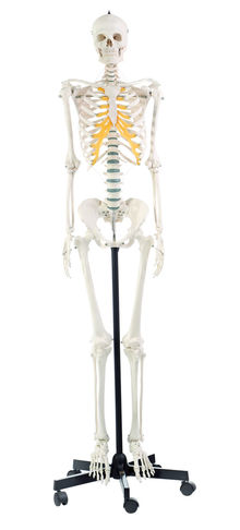QS 10/8 Künstliches Homo-Skelett, weiblich