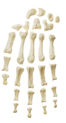 QS 19/20 Handknochen