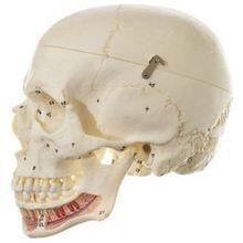 QS 2/1 Künstlicher Homo-Schädel