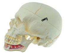 QS 2 Künstlicher Homo-Schädel