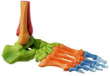 QS 22/4 Fuss-Skelett, rechts (Bewegliche Gelenke + Farbe)