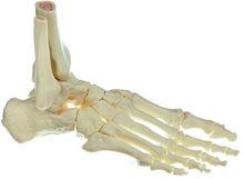 QS 22/5 Fuss-Skelett, rechts (bewegliche Gelenke)