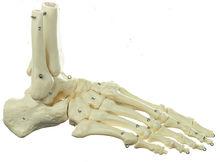 QS 22 Fuss-Skelett (Drahtmontage)