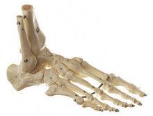 QS 23 Fuss-Skelett (elastische Montage)