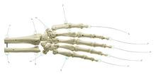 QS 31/1-N Handskelett mit Unterarmansatz (Nylonmontage)