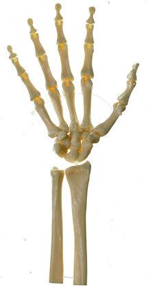 QS 31/5 Handskelett (bewegliche Gelenke)