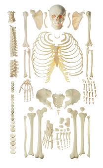 QS 40/1 Unmontiertes Homo-Skelett, männlich