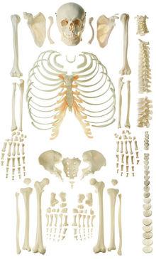 QS 40/2 Unmontiertes Homo-Skelett