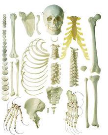 QS 41/1-N Unmontiertes Halbes Homo-Skelett, männl.