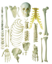 QS 41/1 Unmontiertes halbes Homo-Skelett