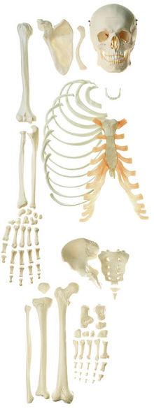 QS 41/2 Unmontiertes halbes Homo-Skelett