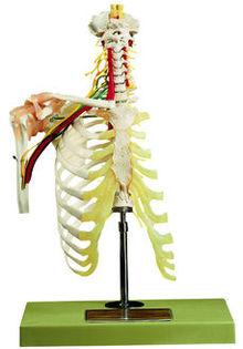 QS 65/5 Halswirbelsäule mit Schultergürtel