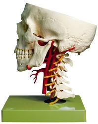 QS 65/6 Schädelbasis mit Arterien